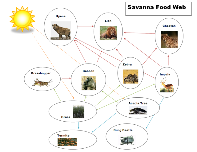 Food Chain & Food Web - The Tropical grasslands/savannas biome
